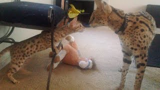Serval Meets Savannah For The First Time!