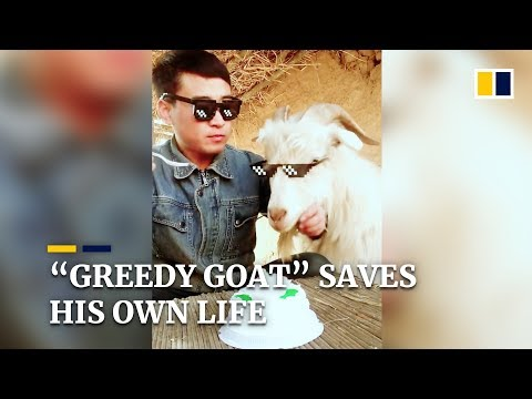 Goat saves his own life by being greedy in China