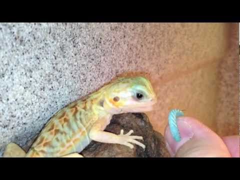 Nomnom Trans Silk Bearded Dragon Youtube