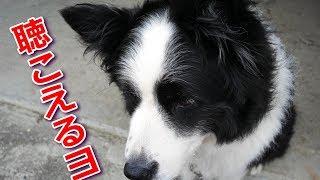 犬の聴覚は人間のおよそ4倍と言われています。ただ諸説や数値に幅があり...