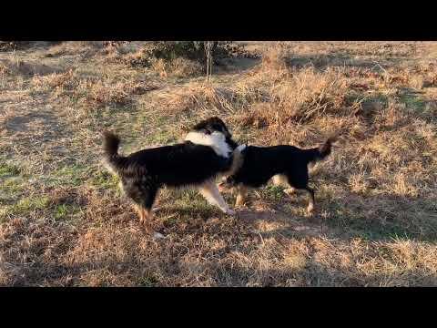 English Shepherd dogs