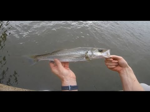 Ultralight jigging for stripers at Kent Narrows