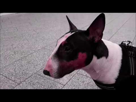 Miniatur Bullterrier Bully frisst vom Chinesen