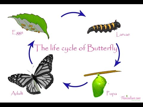Life Cycle Of Butterfly Youtube