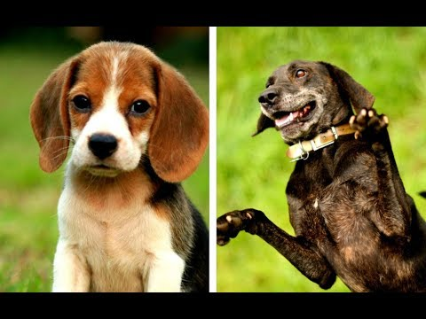 All Hound Dog Breeds List (A - Z)