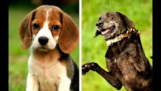 All Hound Dog Breeds List (A  Z)