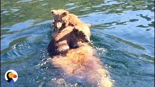 Bear Cubs Ride Mom's Back Across Lake | The Dodo