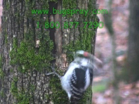 Wood Pecker Pecking Tree