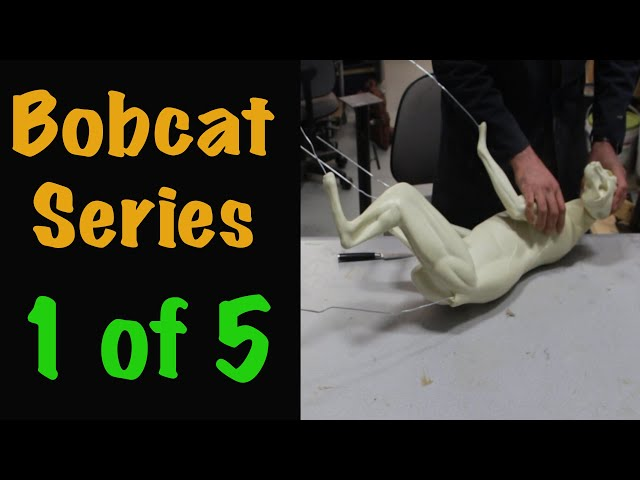 Bobcat Taxidermy Series. Part 1. TEST FITTING. Art of Taxidermy.