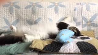 またたびで酔っ払う猫の様子をお楽しみください。