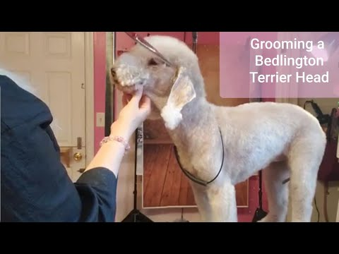 Grooming a Bedlington Terrier Head Tutorial