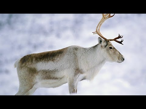 Животные дикого Севера 1 серия   Документальный фильм про животных