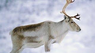 Животные дикого Севера 1 серия | Документальный фильм про животных