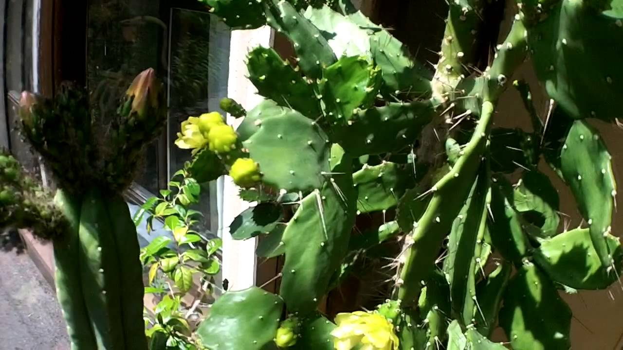 Brasiliopuntia Brasiliensis Cactus With Yellow Flowers And Buds June