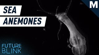 Anemones Can Grow Limbs By Using Food | Future Blink