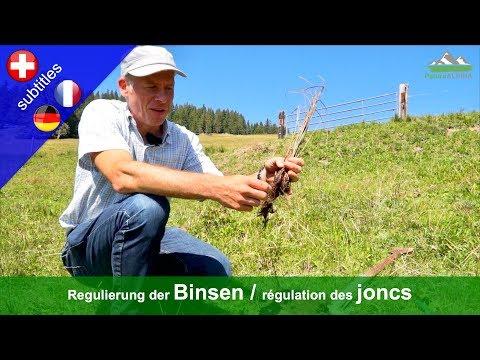 Regulierung der Binsen auf Alpweiden / Régulation des joncs (juncus)