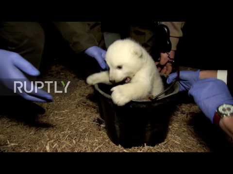 Germany: Knut Jr? Berlin Zoo reveals polar bear cub is a male