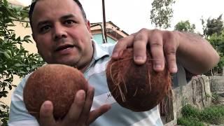 COMO GERMINAR UN COCO PELADO GERMINATE coconut