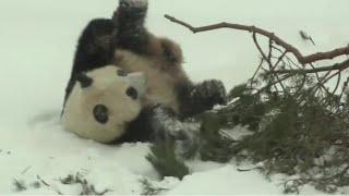 その魅力はグローバル!パンダさん、フィンランドでも可愛さ無双