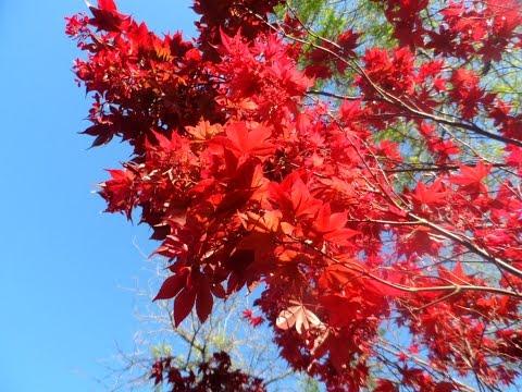 Самые красивые деревья мира, японский красный клен, каллистемон, 14/04/2016