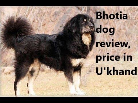 Original pure pahadi bhotia dog breed review, price in uttarakhand