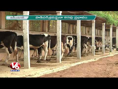 Drought Dries Up Dairy Industry In Karimnagar | Farmers Face Problems Due To Low Milk Production