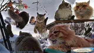 Siberian cats playing in the snow Сибирские кошки играют на снегу #Koshlandia
