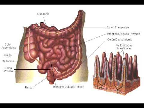 Relacion Sistema Circulatorio con Aparato Digestivo, Respiratorio y ...