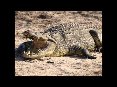 Một số hình ảnh về con cá sấu.avi