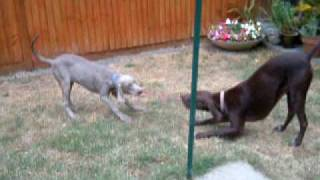 Weimaraner And German Pointer Play