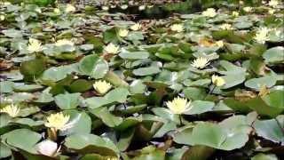 松秀寺門前の弁天池にスイレンの花が見事となってきました。