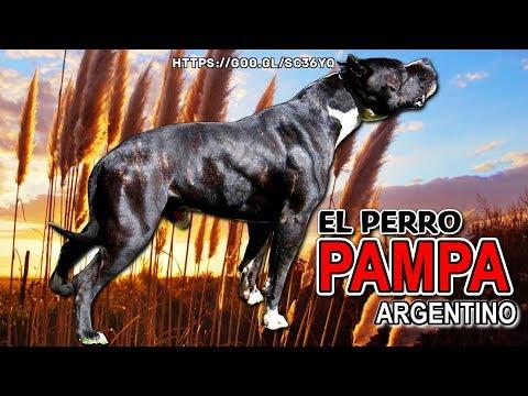 PERRO PAMPA ARGENTINO | Cruza entre American staffordshire terrier y Dogo argentino