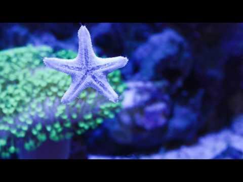 HUGE Asterina Starfish
