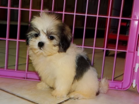 Malti Tzu Puppies Dogs For Sale In Columbus Macon Georgia Ga