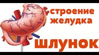 Видео-урок по анатомии. Строение желудка / Будова шлунку