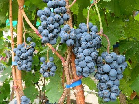 Технические сорта винограда 2015. Часть 1 (Technical grapes 2015. Part 1)