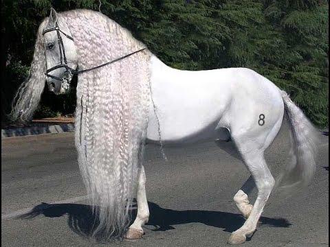 amazing horse andalusian horse youtube