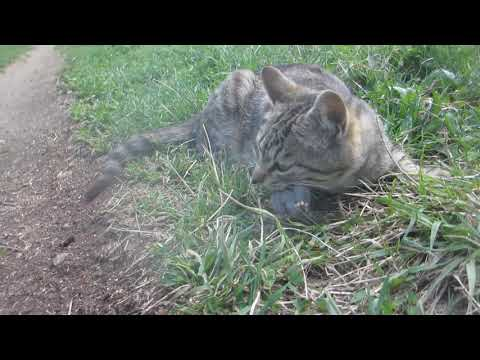 かなり観覧注意!猫がネズミを捕獲②食べます!