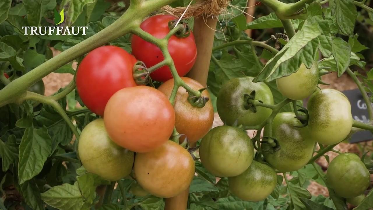comment r colter des graines de tomates jardinerie truffaut tv youtube. Black Bedroom Furniture Sets. Home Design Ideas