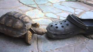 FIGHTING TURTLE: TURTLE AGAINST A SHOE