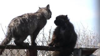 Драка котов  СМОТРЕТЬ ДО КОНЦА !!!