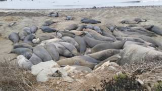 Friends of the Elephant Seal  San Simeon, Cabrillo highway