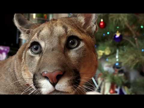 Вопрос: Как дать отпор горному льву (пуме)?