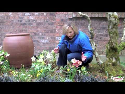 Garden Tutorial: Hellebores