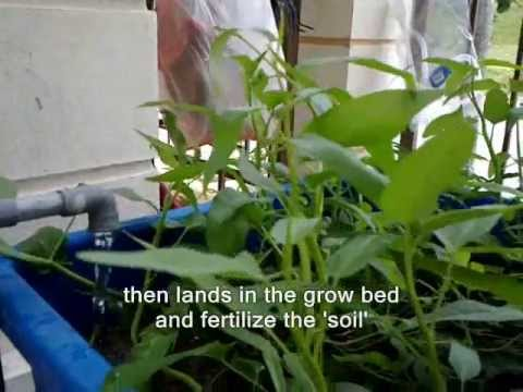 FARM LOBSTERS AT HOME – AQUAPONIC METHOD