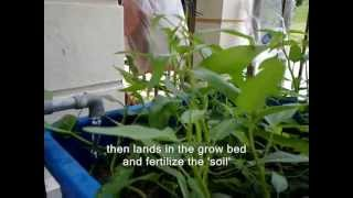 FARM LOBSTERS AT HOME - AQUAPONIC METHOD
