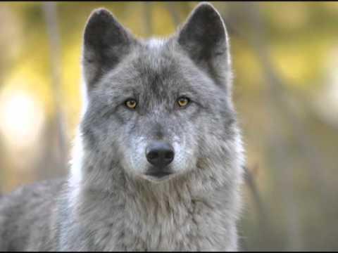 """UW 360 - June 2011: """"Wolves and Wild Lands in the 21st Century"""" exhibit"""