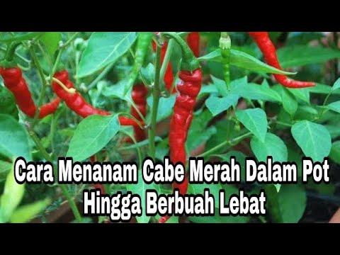 Cara Menanam Cabe Merah Dalam Pot Hingga Berbuah Lebat