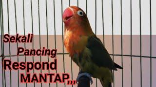 Download lagu masteran suara lovebird memancing lakbet jenis apapun jadi gacor dan rajin ngekek