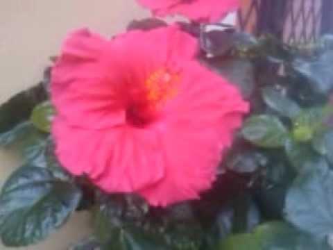 Fiore ibisco rosso youtube for Ibisco rosso